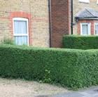 Oval Leaf Privet - Hedging Range