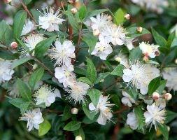 Commonmyrtle Flowers on Buy Common Myrtle Myrtus Communis
