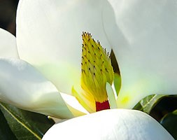 Magnolia grandiflora 'Little Gem' (evergreen magnolia)