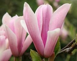 Magnolia 'Heaven Scent' (magnolia)