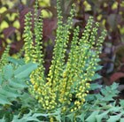 Mahonia × media Winter Sun