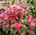 Nandina domestica Fire Power