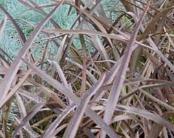 Phormium 'Bronze Baby' (New Zealand flax)