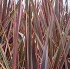 New Zealand flax (Phormium Rainbow Queen)