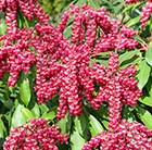 Pieris japonica Valley Valentine