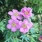 Potentilla fruticosa Lovely Pink  = 'Pink Beauty' (PBR)