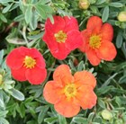 Potentilla fruticosa Marian Red Robin = 'Marrob' (PBR)