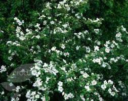 Rubus 'Benenden' (Ornamental Bramble)
