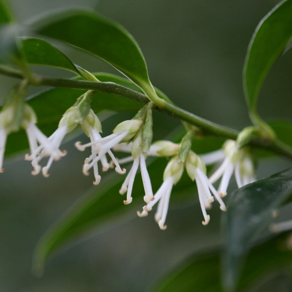 sweet box plant sarcococca confusa 2