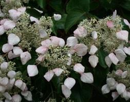 Schizophragma hydrangeoides (Japanese hydrangea vine)