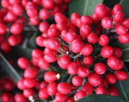 skimmia (berry-bearing)