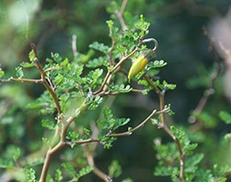 Sophora prostrata 'Little Baby' (Pagoda Tree)