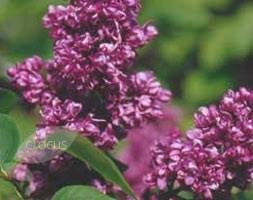 Syringa vulgaris 'Michael Buchner' (Lilac)