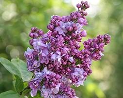 Syringa vulgaris 'Charles Joly' (common Lilac)