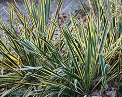 Yucca filamentosa 'Bright Edge' (Adam's needle)