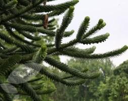 Araucaria araucana (monkey puzzle)