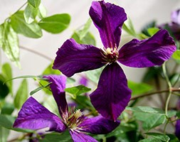 Clematis &aposPolish Spirit&apos (clematis (group 3))