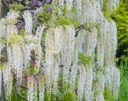 Wisteria sinensis &aposAlba&apos (Chinese wisteria)