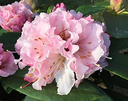 Rhododendron 'Christmas Cheer' (rhododendron)