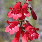 Penstemon Southgate Gem