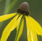 drooping coneflower