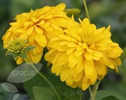 Rudbeckia laciniata 'Goldquelle' (coneflower)