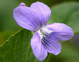 Viola odorata (sweet violet)