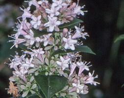 Abelia chinensis (Chinese abelia)