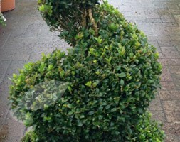 Buxus sempervirens - spiral (common box - spiral)