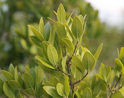 Phillyrea latifolia (jasmine box)
