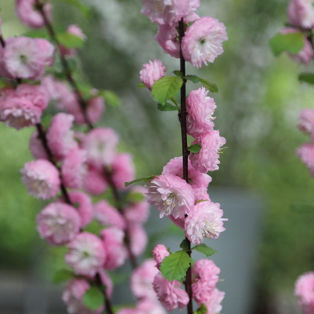 Prunus triloba (flowering almond)