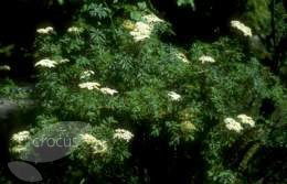 Sambucus nigra 'Laciniata' (Fern-leaved elder)