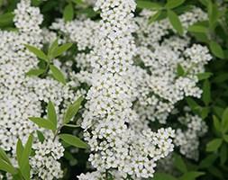 Spiraea 'Arguta' (bridal wreath)