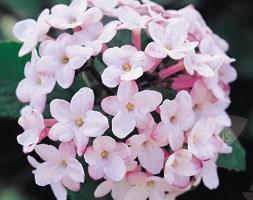 Viburnum x burkwoodii 'Park Farm Hybrid' (burkwood viburnum)