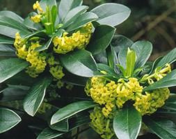 Daphne laureola subsp 'philippi' (Spurge laurel)