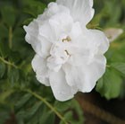 rose Blanche Double de Coubert (rugosa)