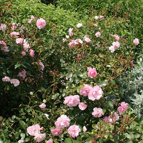 rose Bonica (shrub)