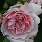 rose Felicia (hybrid musk)