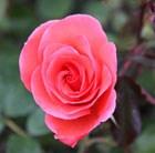 rose Happy Anniversary (floribunda)