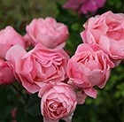 rose The Queen Elizabeth (floribunda)
