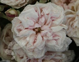 Rosa 'Souvenir de la Malmaison' (rose (shrub))