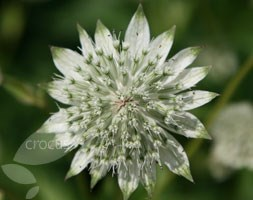 Astrantia major 'Alba' (masterwort)