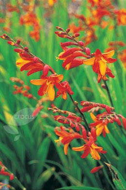 Photo Montbretia Flower