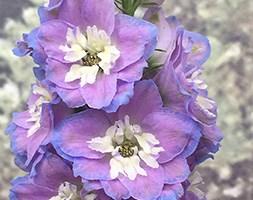 Delphinium 'Cameliard Group' (delphinium)