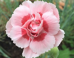 Dianthus 'Doris' (pink)
