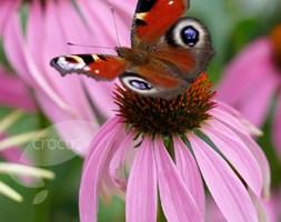 Echinacea purpurea (coneflower)