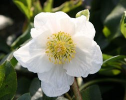 Christmas rose hellebore