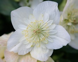 Helleborus niger Harvington hybrids double-flowered (Christmas rose hellebore)