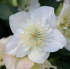 Helleborus niger Harvington double white