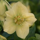 Helleborus × hybridus Harvington yellow